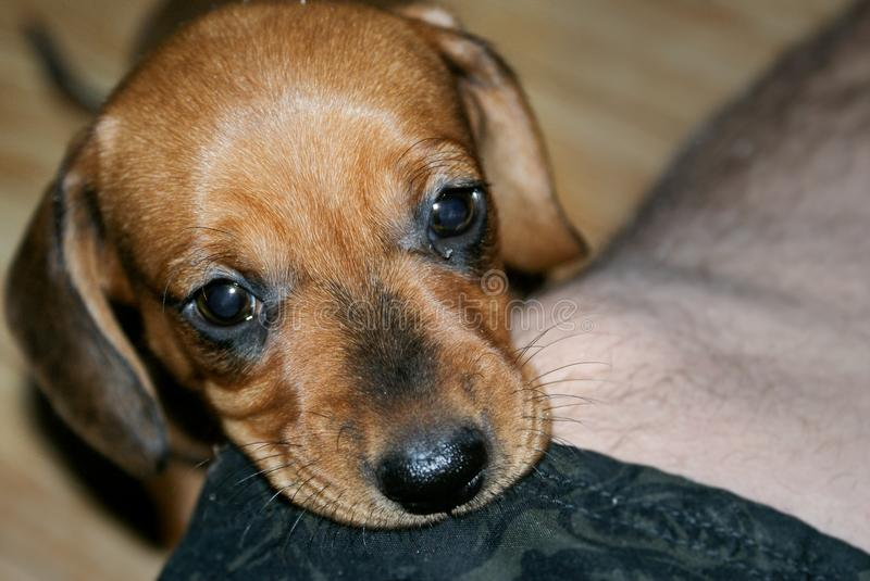 The puppy Dachshund. Beautiful and little puppy dogs. Dog a loyal friend. Lies on the foot of a master royalty free stock photography