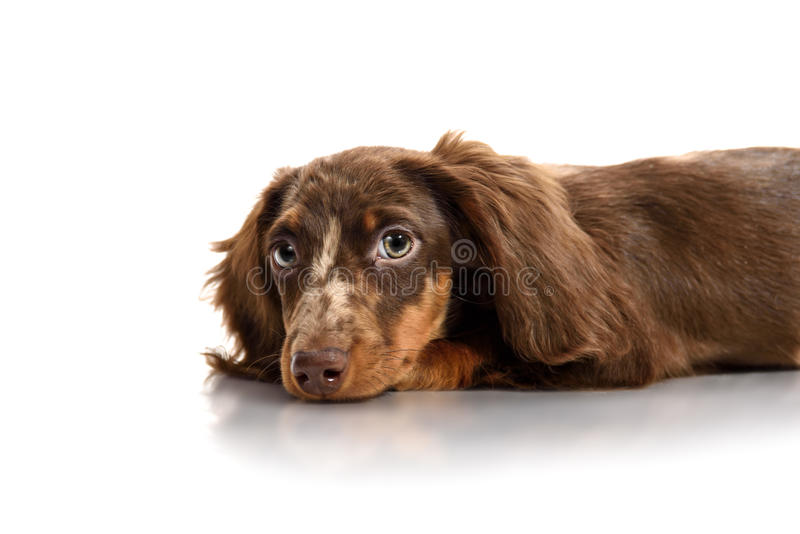 Puppy dachshund on a white background stock photo