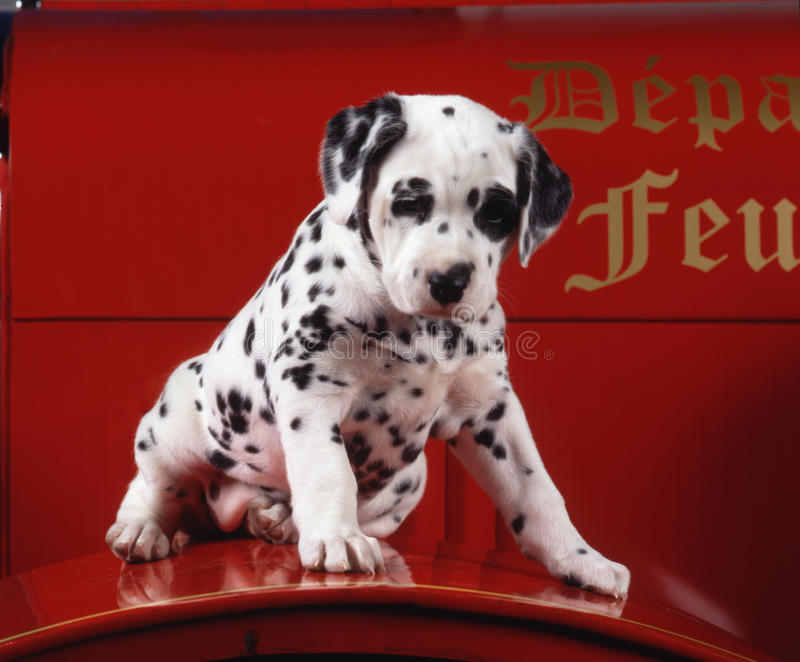 Puppy Dalmation On A Fire Truck Royalty Free Stock Photo
