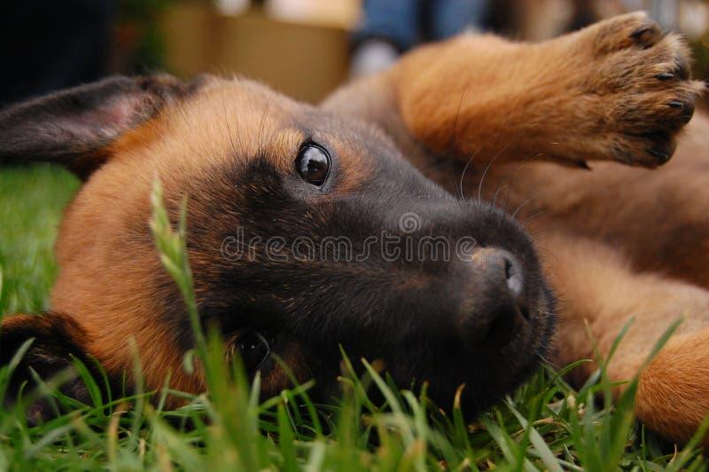 Puppy dat in het gras ligt royalty-vrije stock afbeelding