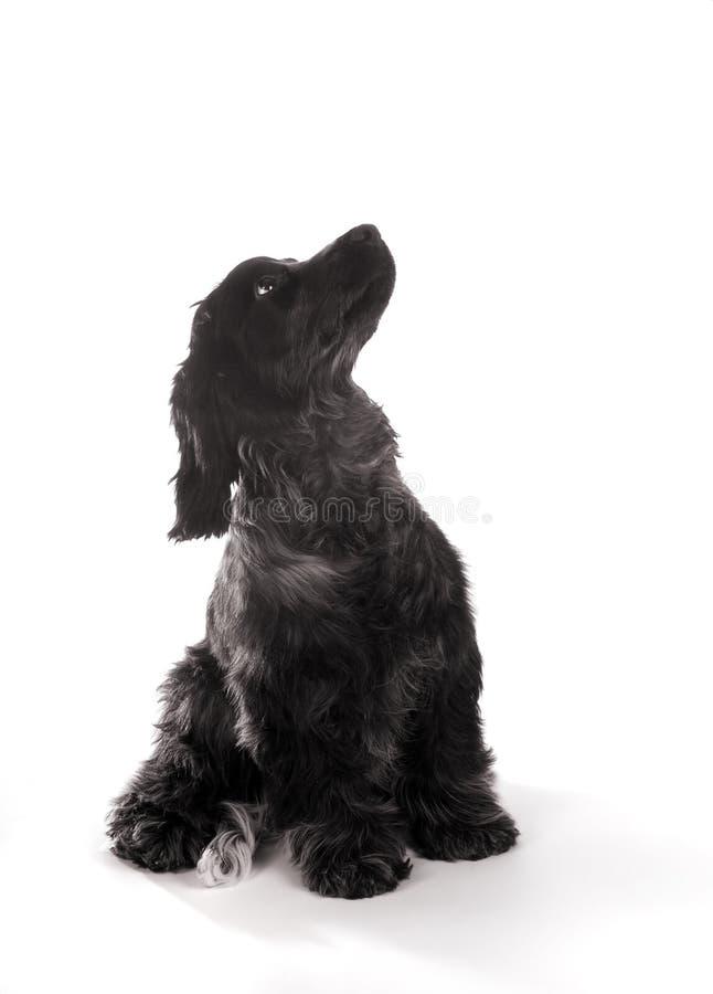 Puppy dat omhoog eruit ziet royalty-vrije stock foto's
