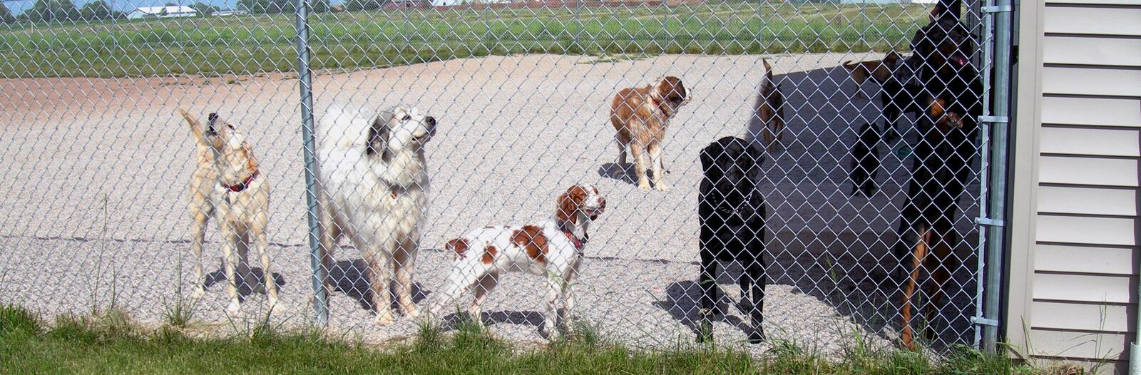 Puppy Day Care. A group of large dogs at doggie daycare take a break from play time to see who is going home first royalty free stock photos