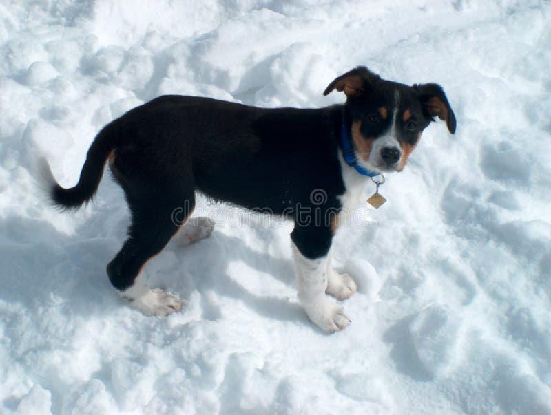 Puppy in de Sneeuw royalty-vrije stock foto