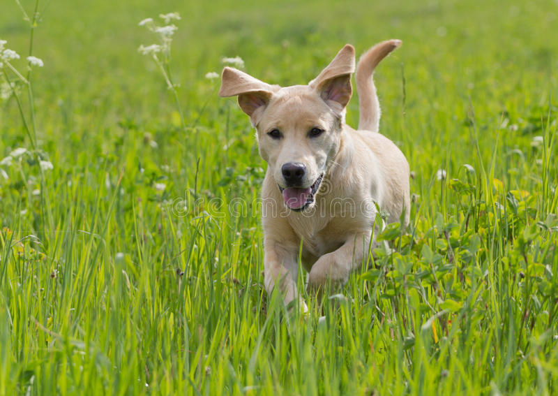 Puppy die in gras lopen stock foto's