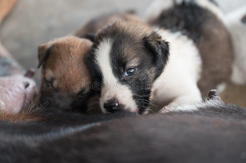 Puppy die melk van moederhond zuigen royalty-vrije stock afbeelding