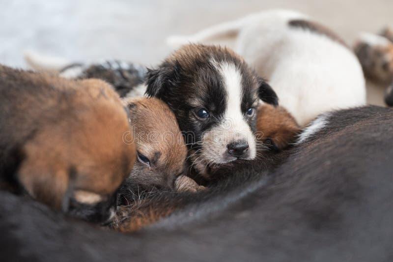 Puppy die melk van moederhond zuigen royalty-vrije stock afbeeldingen