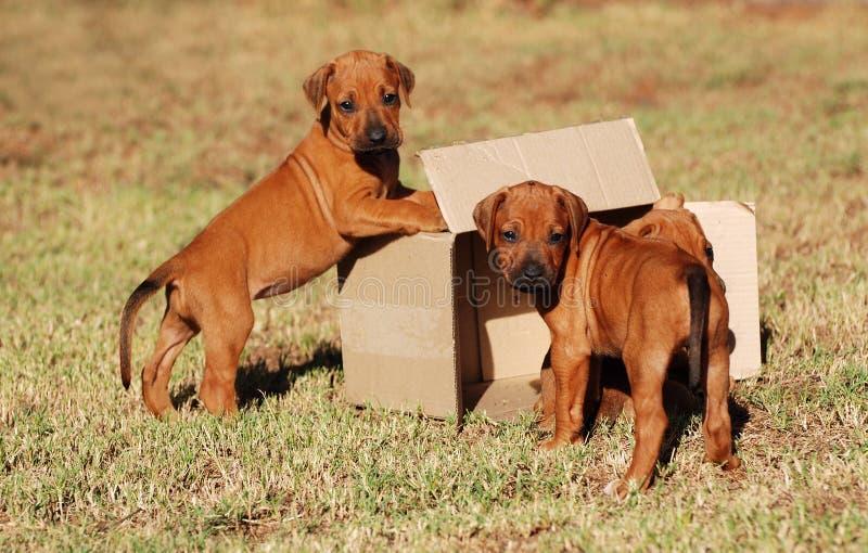 Puppy die met doos spelen stock afbeeldingen