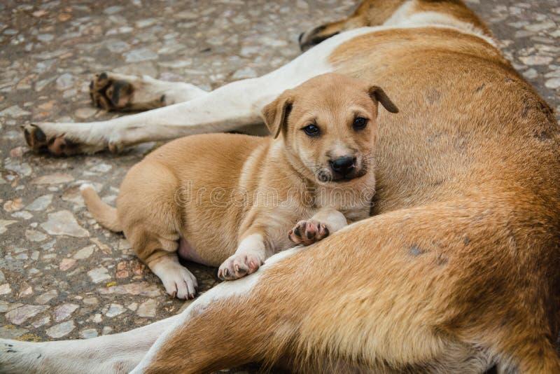 Puppy die naast moeder liggen stock afbeeldingen