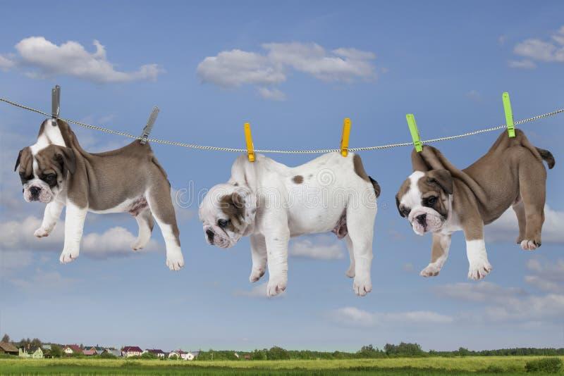 Puppy die op waslijn drogen stock afbeeldingen