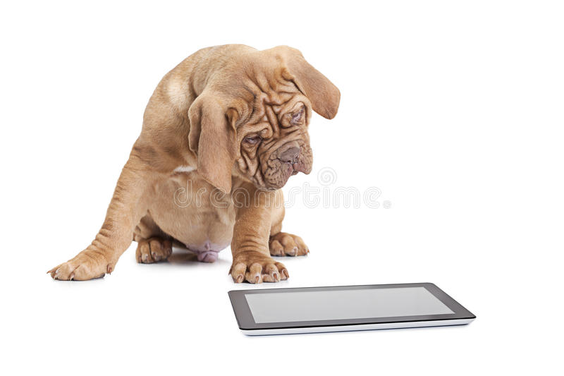 Puppy with digital tablet computer royalty free stock photos