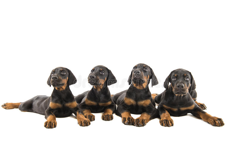 Puppy doberman pinscher royalty-vrije stock foto