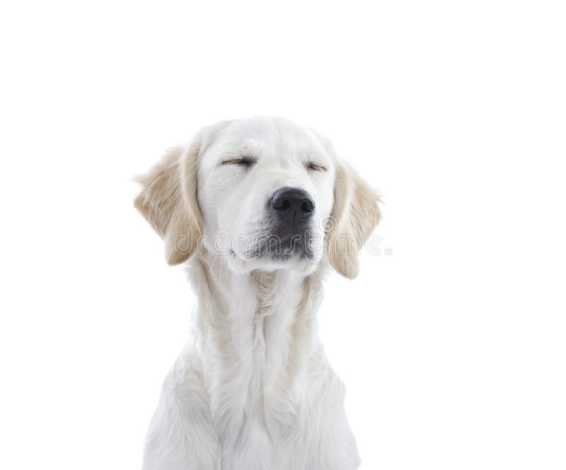 Puppy dog. Golden Retriever puppy dog dreaming - isolated on white background with copy space royalty free stock photos