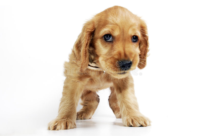 Download Puppy Dog stock image. Image of bright, waiting, brown - 1965193