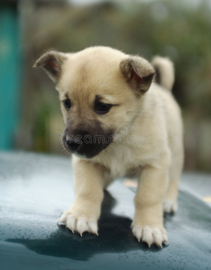 Puppy dog 2 royalty free stock photo
