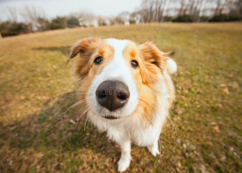 Puppy dog. Cute border collie puppy dog closeup outside