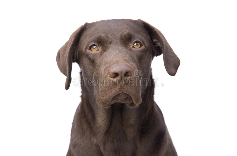 Puppy dog. Looking ahead (white background stock photos