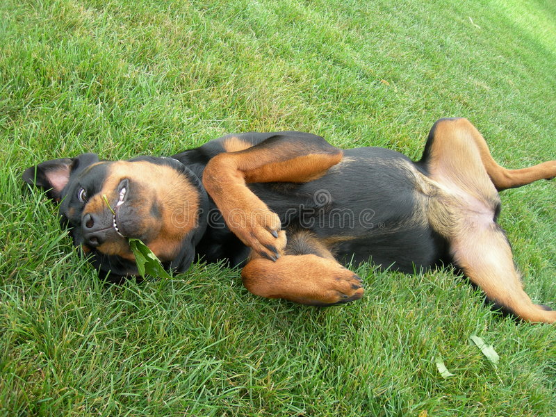 Puppy Dog Begs for Tummy Rub stock photos