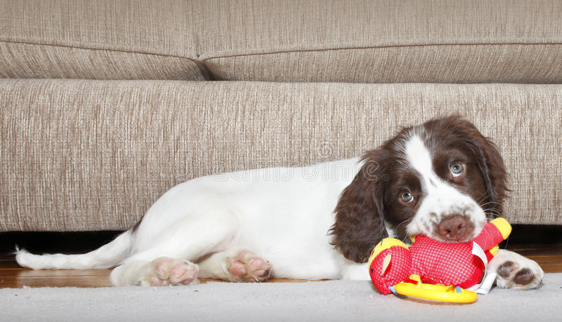 Download Puppy dog biting toy stock image. Image of cute, health - 28765641