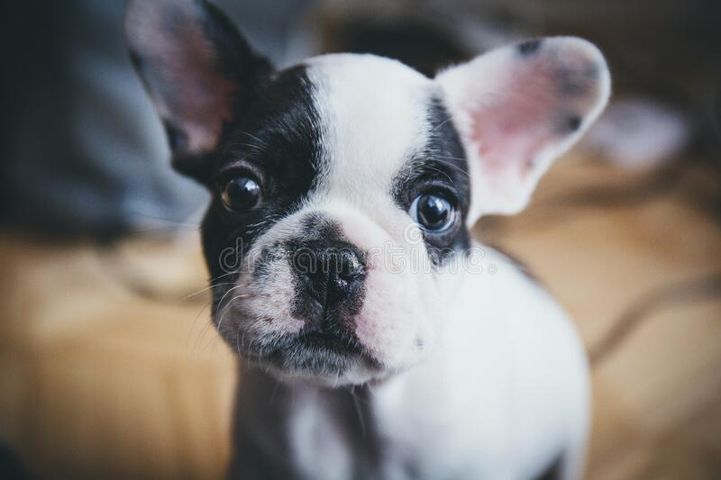 Puppy dog with black and white face stock images