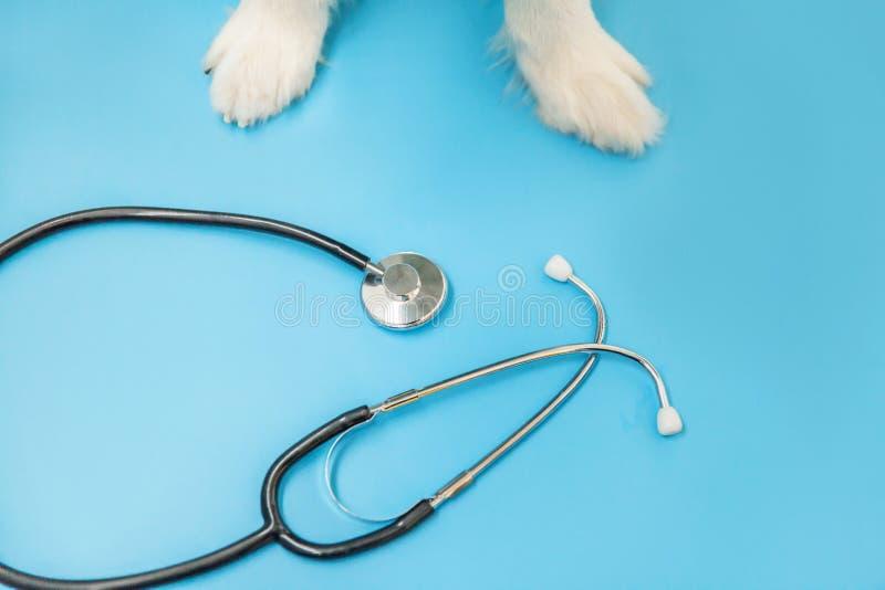 Puppy dog border collie paws and stethoscoop geïsoleerd op blauwe achtergrond Kleine hond op ontvangst bij de dierenarts stock fotografie