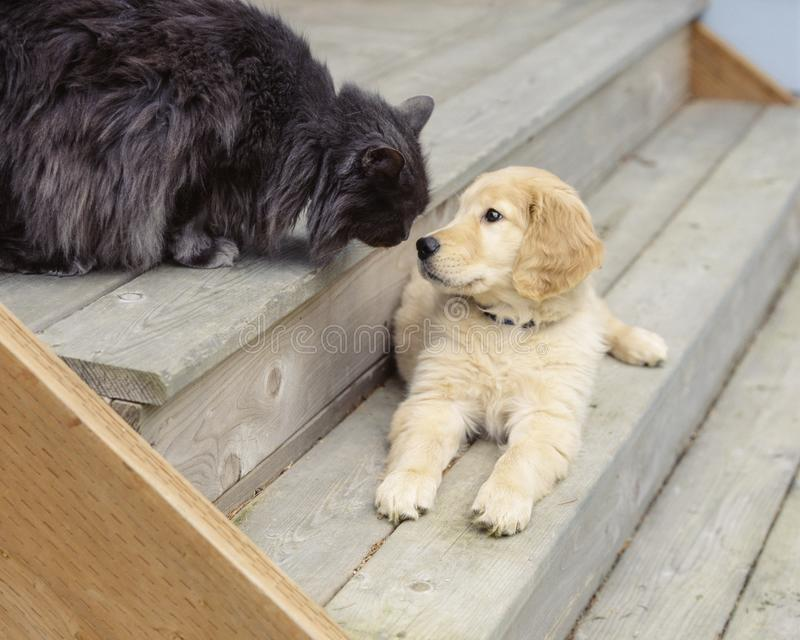 Cute, funny animal friends golden retriever puppy dog and cat pets. royalty free stock images