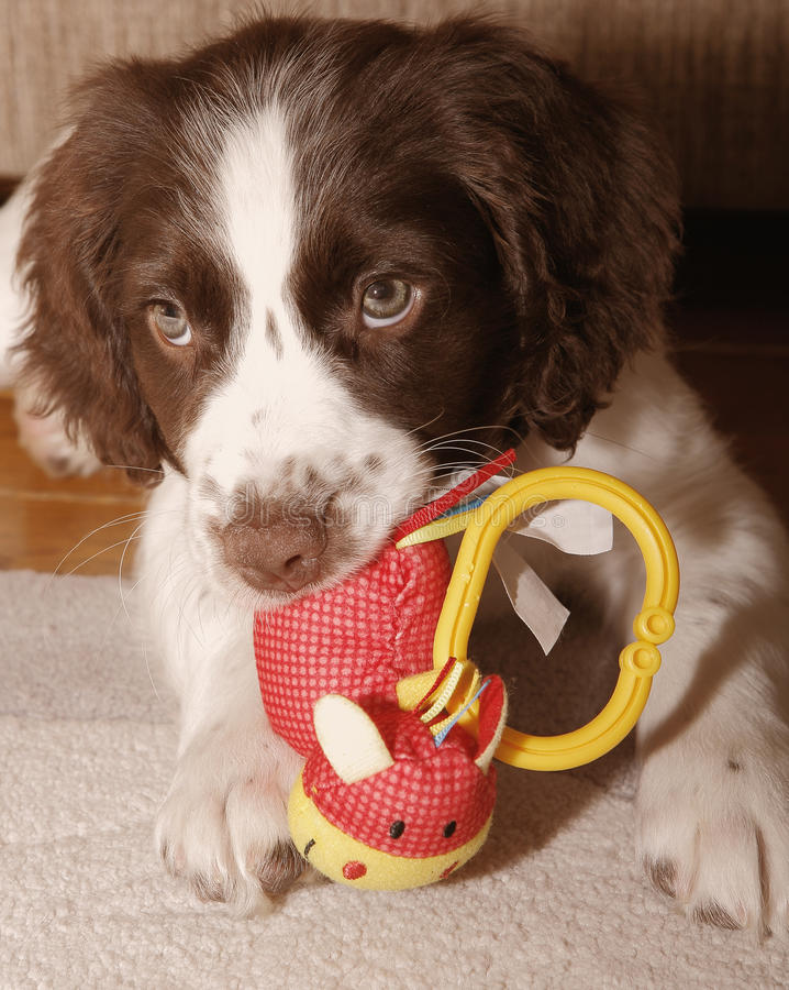 Puppy dog chewing toy royalty free stock photography