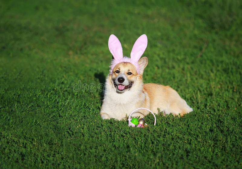 Puppy dog red Corgi lying in the bright green grass in funny pink rabbit ears with a basket of bright colored eggs on Easter cards. Puppy dog  Corgi lying in the royalty free stock images