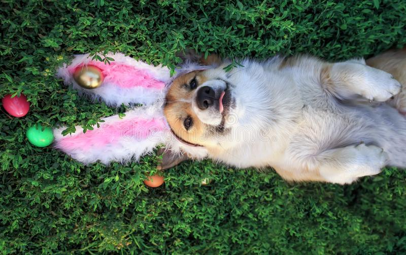 Portrait of a cute puppy dog Corgi lying in the green grass in the pink ears surrounded by colorful Easter eggs and pretty tongue. Puppy dog Corgi lying in the royalty free stock image