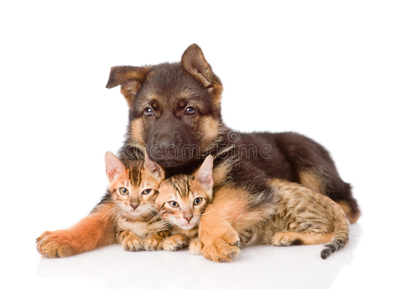 Puppy dog embracing little kittens. isolated on white background.  stock photos