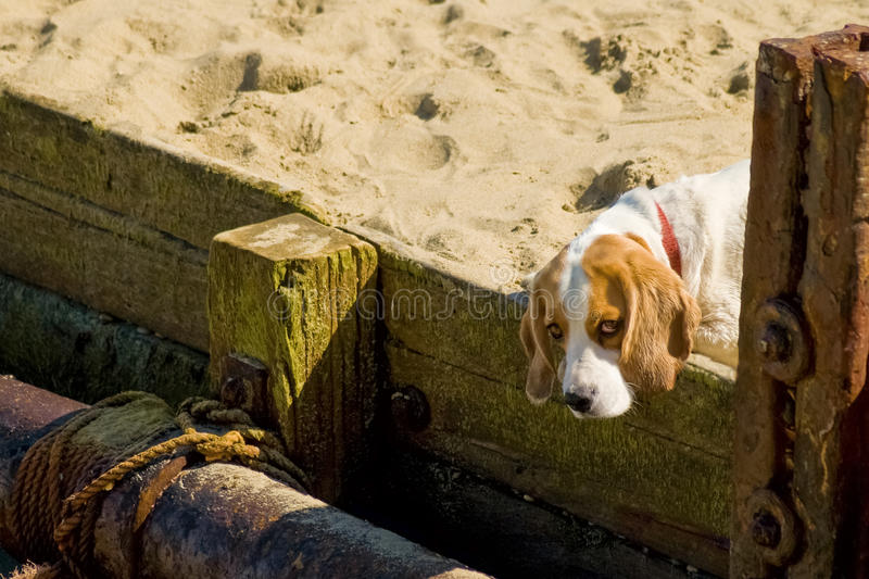 Puppy dog eyes. Cute puppy dog with droopy eyes on a sandy beach royalty free stock images