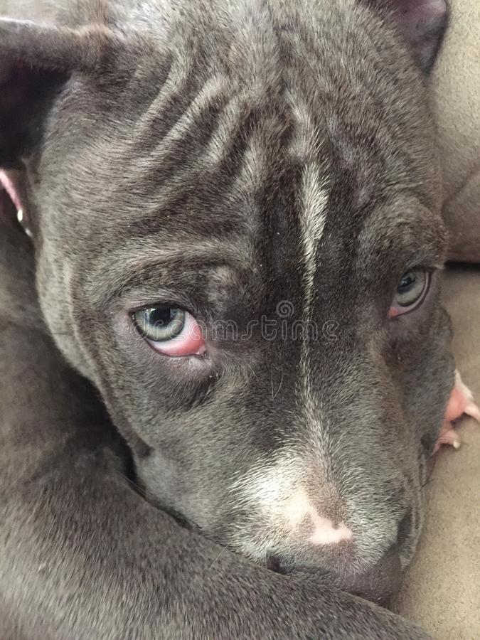 Puppy Dog Eyes royalty free stock image