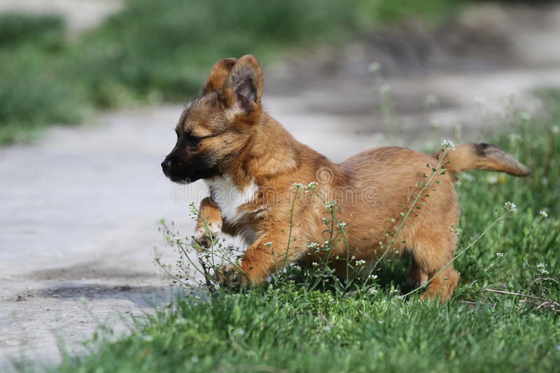 Puppy dog playing in the grass. Red puppy dog playing in the grass stock photography