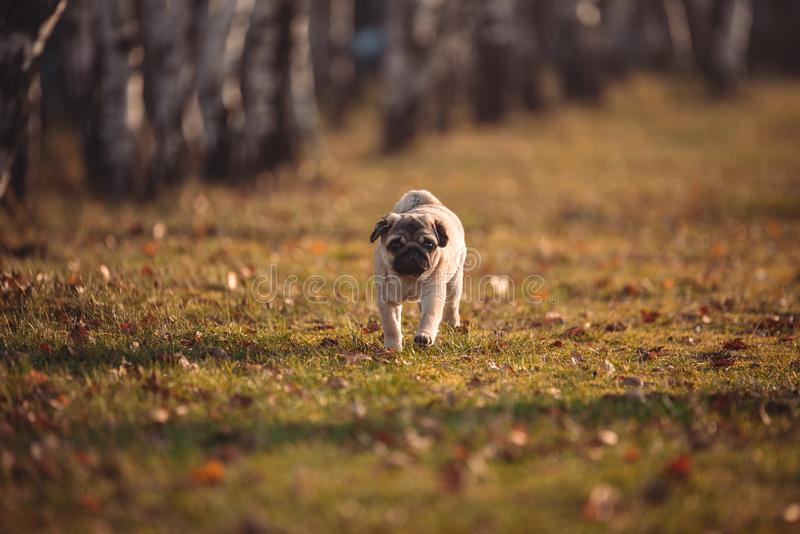 A puppy dog, pug is running toward the camera in a park on an autumn day royalty free stock photo