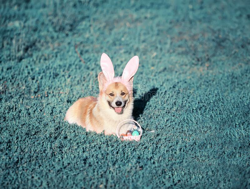 Portrait of a puppy dog red Corgi sitting in the grass in funny pink rabbit ears with a basket of bright colored eggs on an Easter. Puppy dog red Corgi sitting stock photo