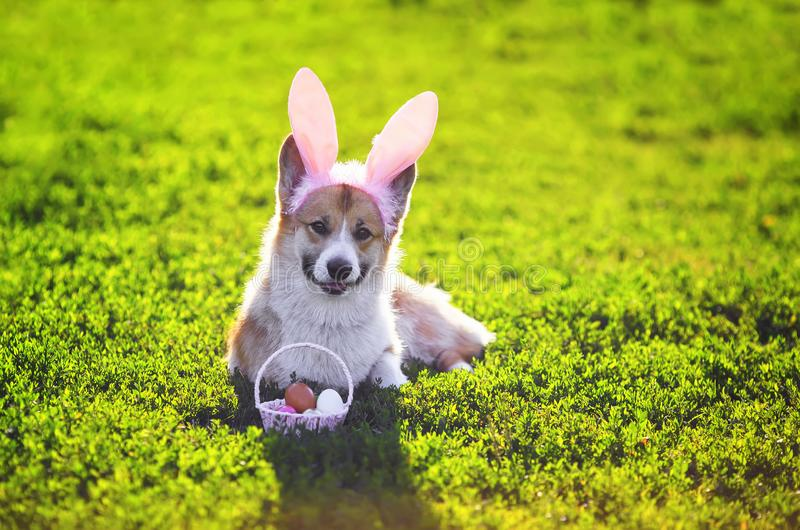 Puppy dog red Corgi sitting in the grass in funny pink rabbit ears with a basket of bright colored eggs on Easter cards. Puppy dog red Corgi sitting in the grass royalty free stock photography