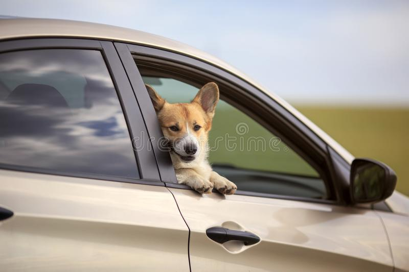 Cute puppy dog red Corgi stuck his happy muzzle out of the car during the travel time on summer roads in the village royalty free stock photography