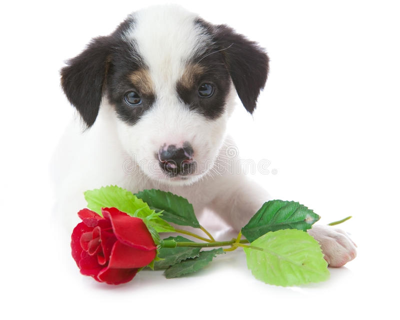Download Puppy dog with rose stock image. Image of romance, animal - 22967133