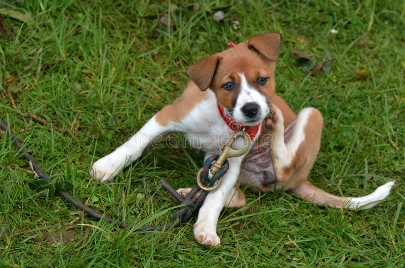 Puppy dog scratching. Little puppy Foxhound dog is scratching on green grass background stock image