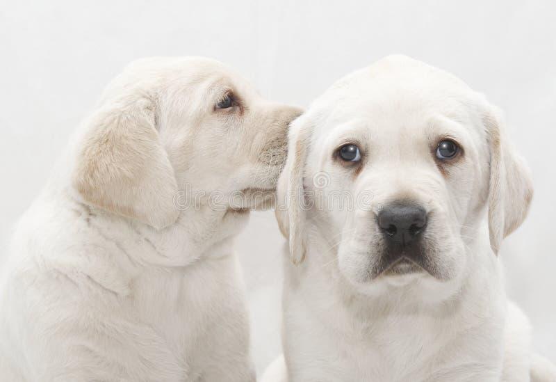 Puppy dog sharing a secret stock photo