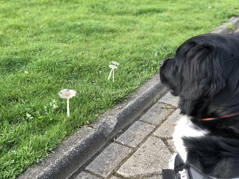 Puppy dog stabijhoun look at mushroom in the spring stock images