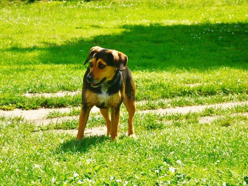 A puppy dog to Agliana. A puppy dog strolling in the natural park of Agliana in Tuscany, Italy grass meadow sun beautiful day stock photography