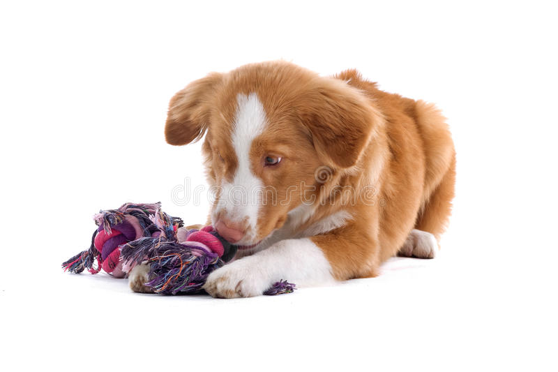 Puppy dog with toy royalty free stock images