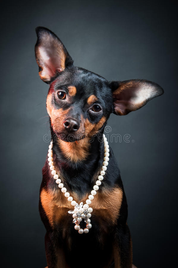 Puppy, dog, toy terrier portrait on a black background. royalty free stock image