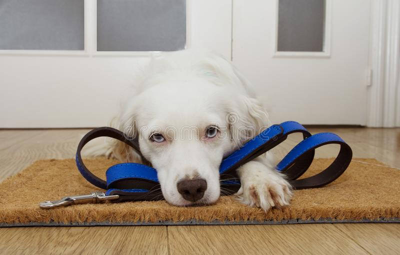 Puppy dog waiting for a walk next to the door at home with leather leash royalty free stock photo
