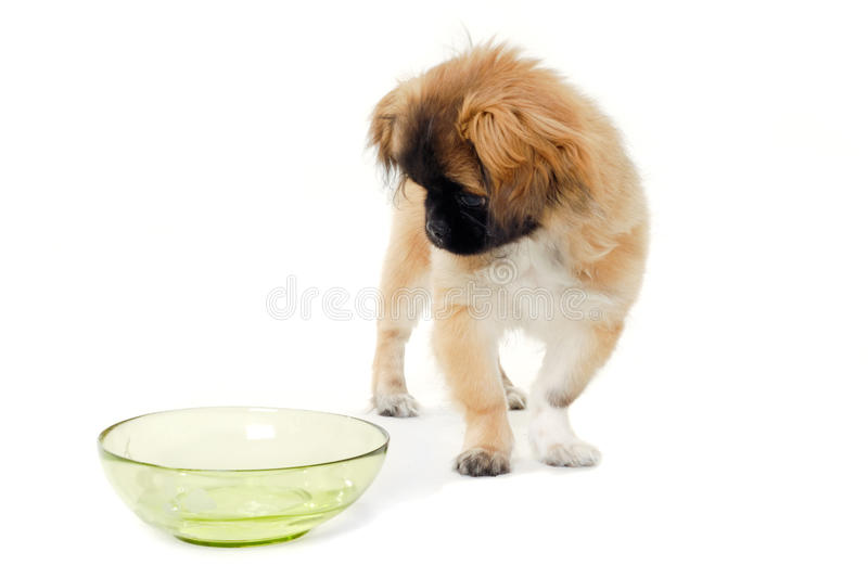 Puppy Dog And Water Bowl Royalty Free Stock Photos