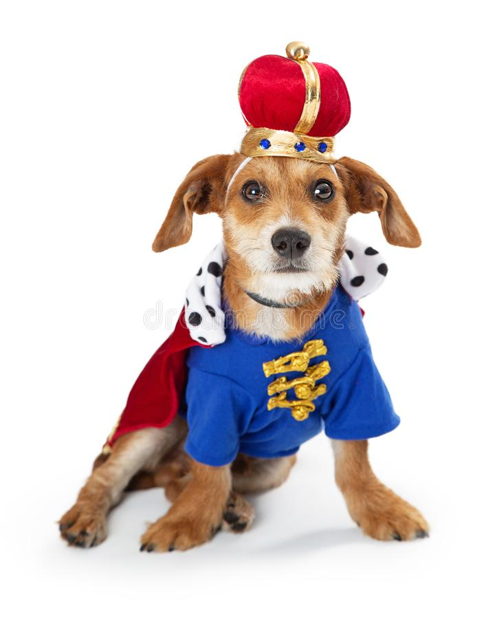 Puppy Dog Wearing King Halloween Costume. Cute small terrier breed dog wearing funny royal king Halloween costume. Isolated on white stock photography