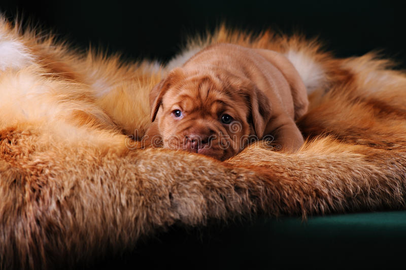 Puppy of Dogue de Bordeaux French mastiff stock photography