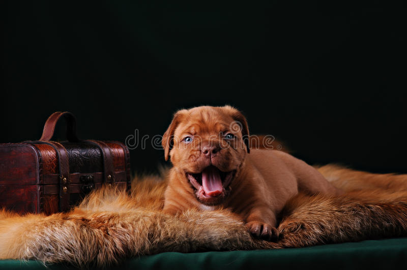 Puppy of Dogue de Bordeaux French mastiff stock images