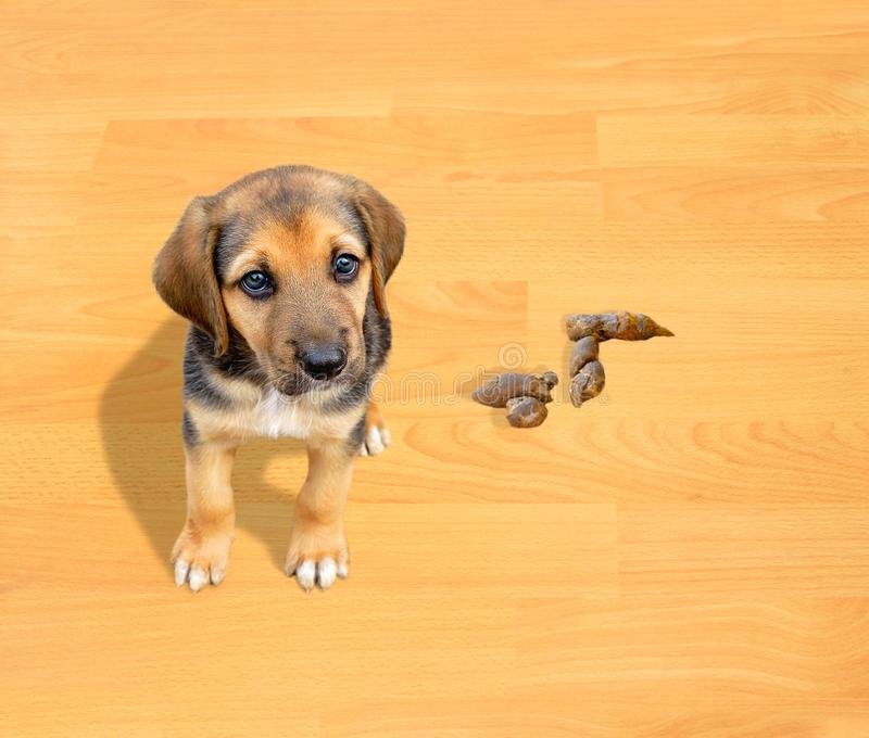 Puppy doing poop. Puppy dog has done poop on the parquet floor at home and looking with tender look royalty free stock photos