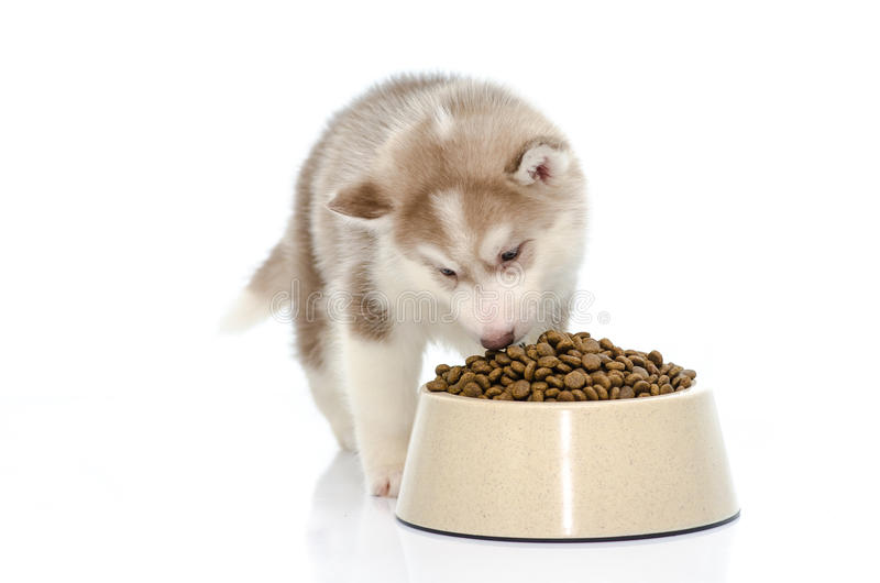 Puppy eating food stock image